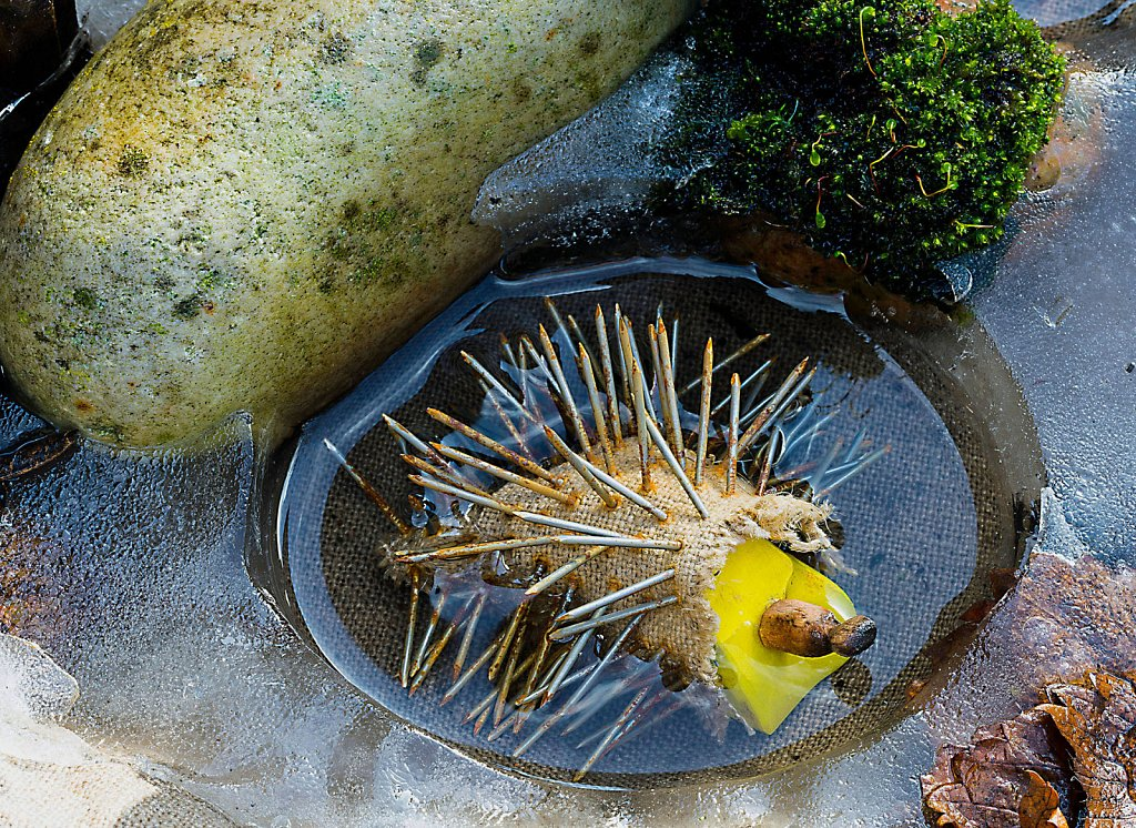 Hedgehog in Ice Pool